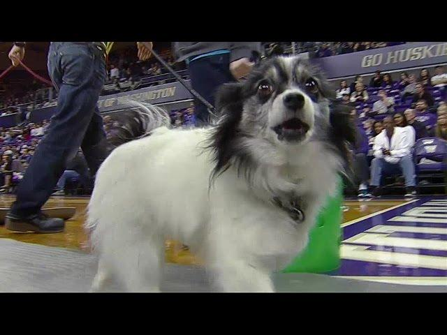 Dogs crash Washington Huskies' game